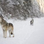 File photo of gray wolves howling in British Columbia. (Pac9012/iStock/Getty Images)