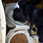 Prevent abomasal bloat in young dairy calves