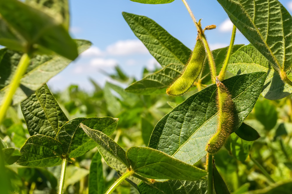 New 2021 soybean varieties
