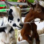 File photo of goats on display at the Hanover Agricultural Fair in Grunthal, Man. in August 2019. (Dave Bedard photo)