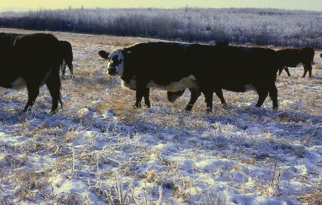 When snow is being used as a winter water source, it's important to watch the your cow's body condition.