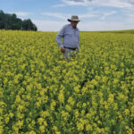 New hybrid brown mustard offers yield boost over conventional options