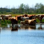 Leptospirosis in cattle is difficult to study
