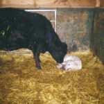 Tips for 'grafting' a new calf to a new mother