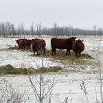 Beef cattle need to be kept in 2.5 to 3 body condition score range heading into calving season.