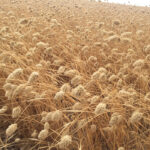 Want to try Canary seed in your crop rotation? Caution is advised