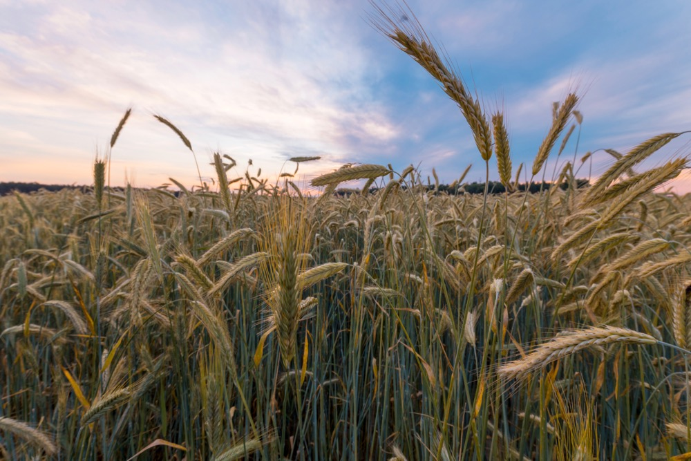 File photo of a rye field in Kazakhstan. (Stsmhn/iStock/Getty Images)