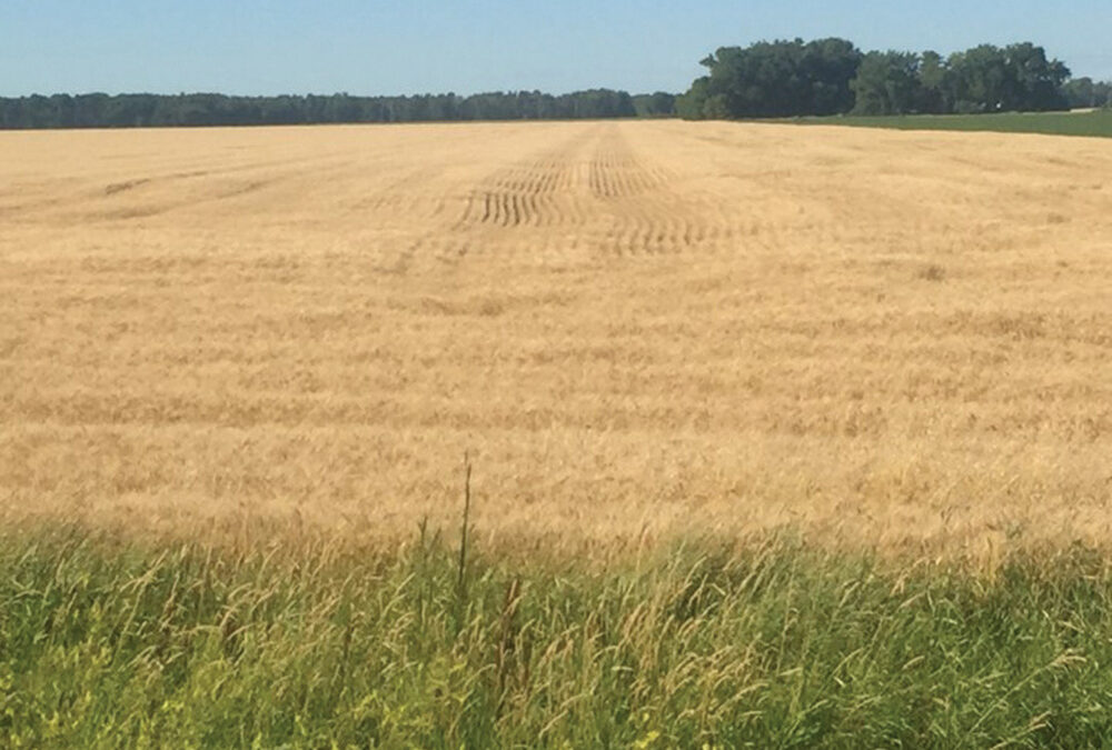 The photo above shows compaction in a wheat field. Adam Gurr, who has been practicing CTF on his farm since 2011, has observed the most obvious source of compaction-related yield loss is a result of in-season traffic, most notably any seeding prep, seeding and sprayer traffic that occurs on wet ground.