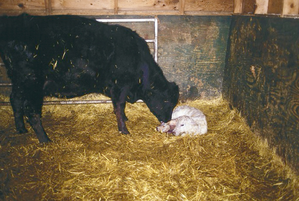 Newborn calves are born with virtually no immunity of their own.