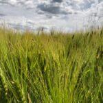 A barley crop south of Ethelton, Sask. on July 30, 2019. (Dave Bedard photo)