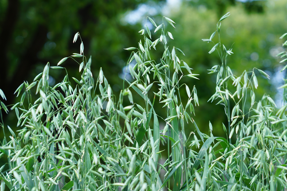 Stopping the spread of wild oats