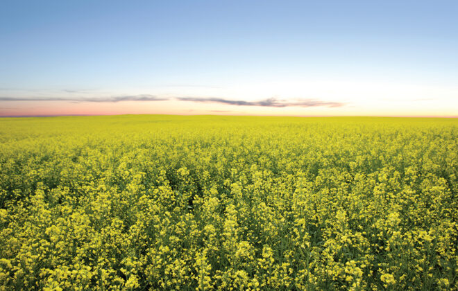What were the canola yield robbers in 2020?
