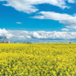 How to reach 52 bushels per acre of canola