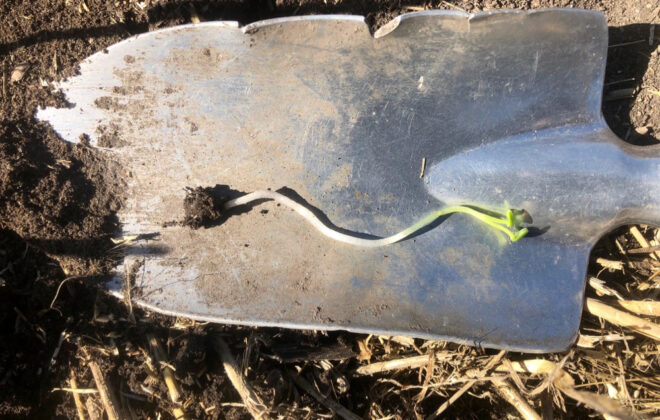 A canola seedling was dug up while trying to determine the cause of the delayed crop emergence.