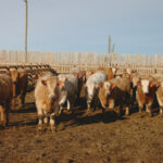 Consumer beef demand will increase by late fall
