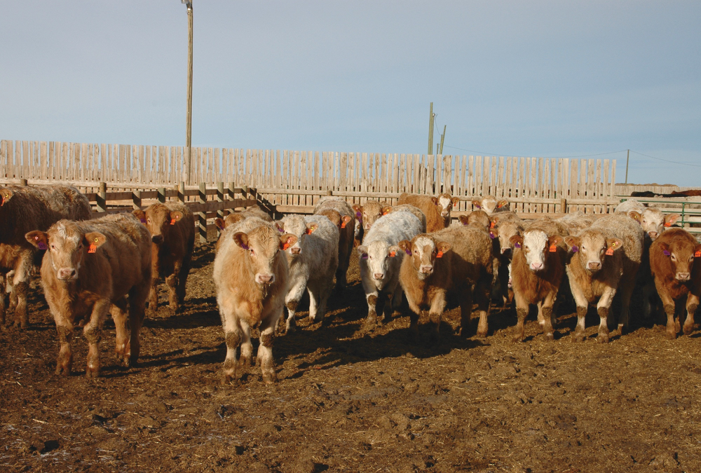 The backlog of market-ready cattle should be cleaned up by late April.