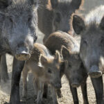 Wild pigs continue to flourish