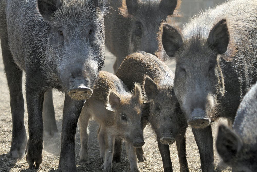 "Some areas of Western Canada might already be past the point where ""pig free"" is even possible, says a University of Saskatchewan researcher."