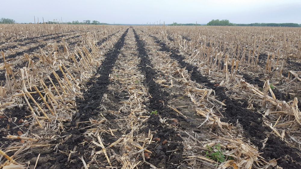 An eight-inch-wide strip of tillage in a field with heavy corn residue.