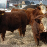 Quality, uniformity needs to be planned when breeding cattle