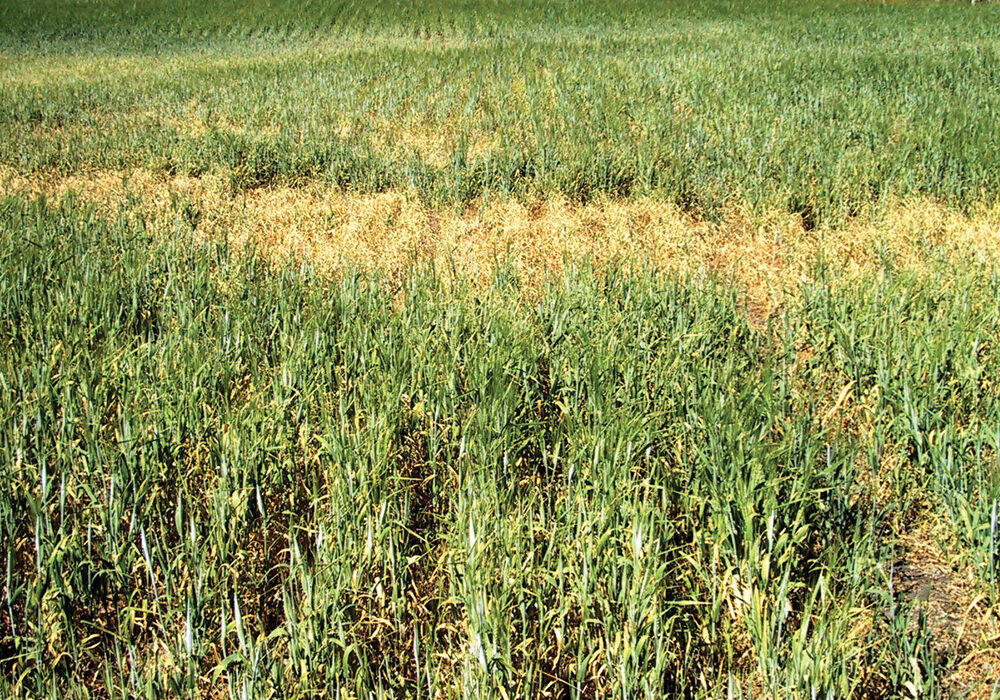 Drought stressed grain crops like this barley may not be worth combining, but they can be used as livestock feed. It is always important to have feed tested to determine its nutrient value.