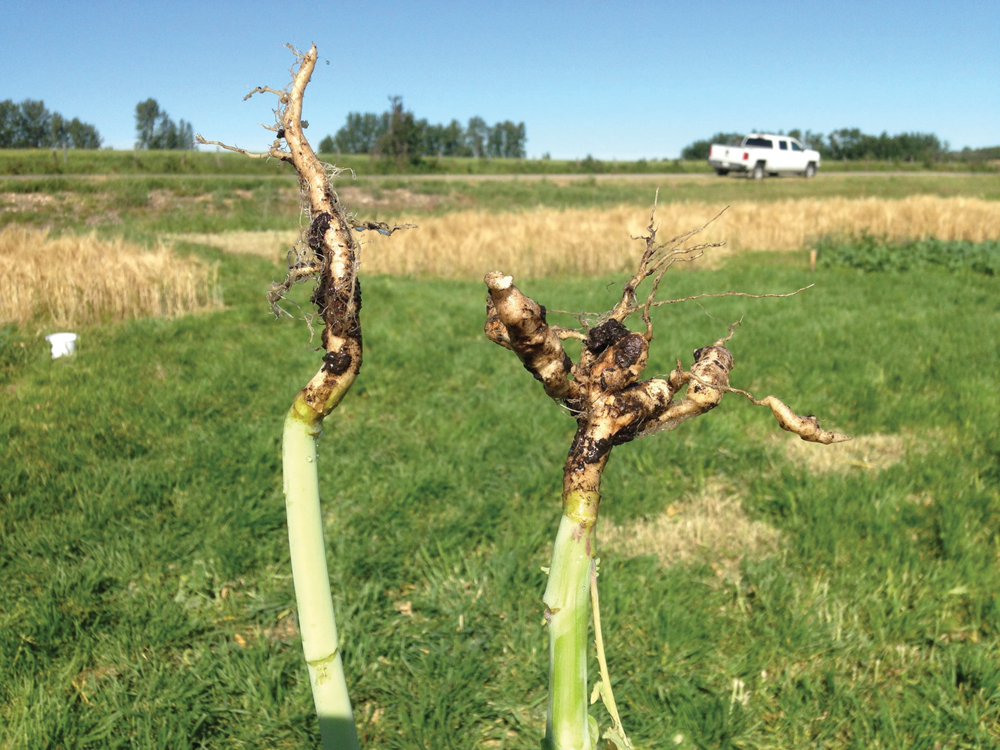 The first confirmed clubroot cases in the Municipal District of Smoky River (Peace region) and in the Counties of Grande Prairie (Peace region) and Wheatland (east of Calgary) were found in 2020.