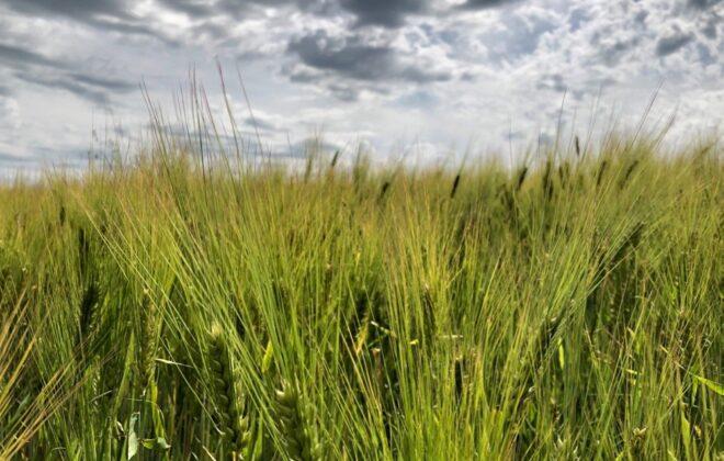 Barley south of Ethelton, Sask. on July 30, 2019. (Dave Bedard photo)