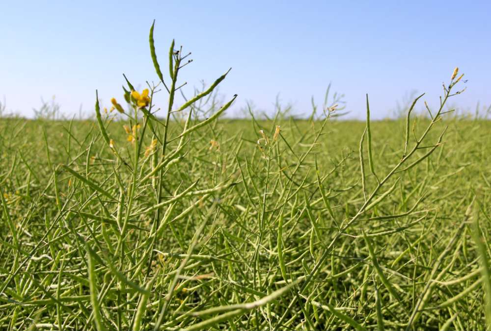 The Canola Council of Canada says hot days and warm nights from bud to mid-flowering stages can have a devastating effect on canola yield.
