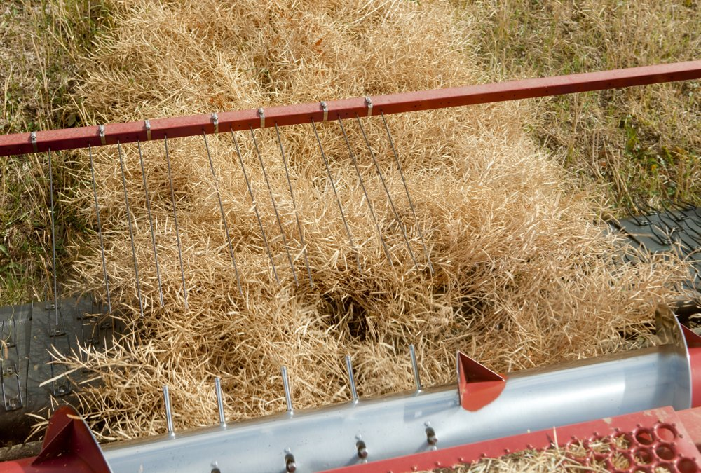 In a dry growing season, producers may see considerable variability in crop maturity.