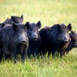 A group of wild boars running in Europe, where the pigs have caused challenges with disease spread. (iStock/Getty Images)