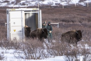 Some of the bison being reintroduced to Banff National Park. Photo by Parks Canada